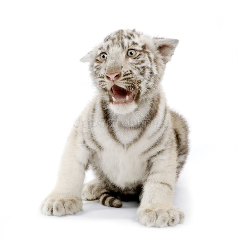3 miesięcy młode biały tygrys fotografia royalty free