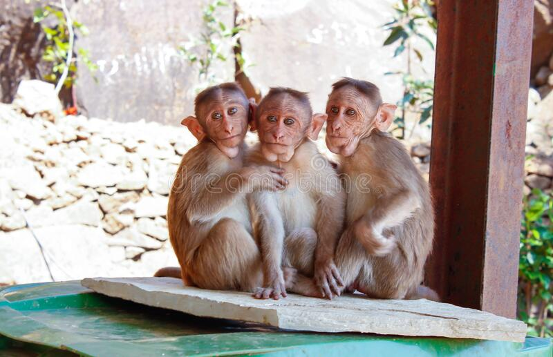 3 Monkeys On Brown Wooden Palette Free Public Domain Cc0 Image