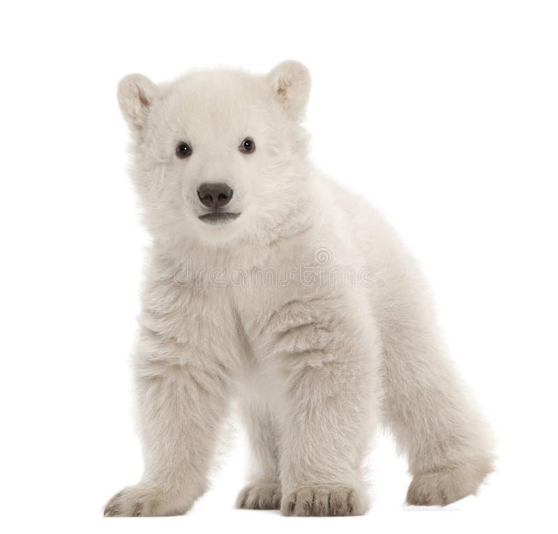 3 niedźwiadkowego lisiątka maritimus miesiąc stary biegunowy ursus fotografia royalty free