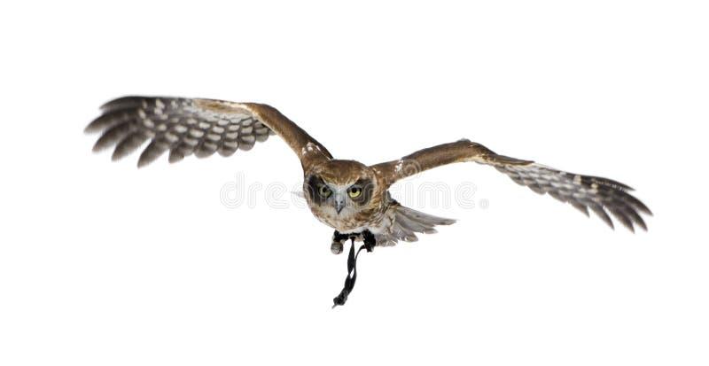 3 nya owlår zealand arkivbild