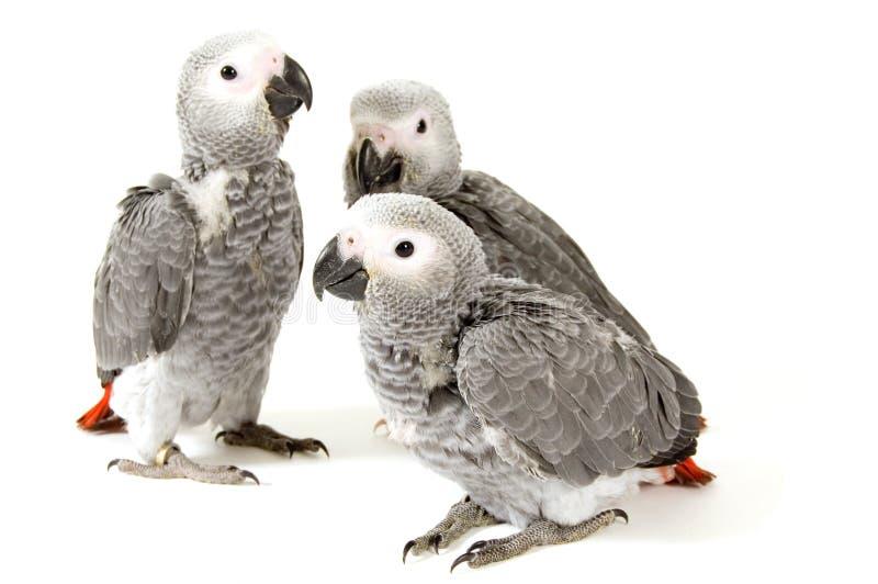 3 papagaios do bebê isolados no branco foto de stock