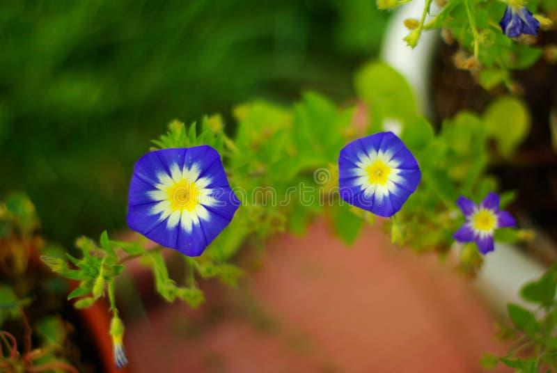 3 petunia stock afbeelding