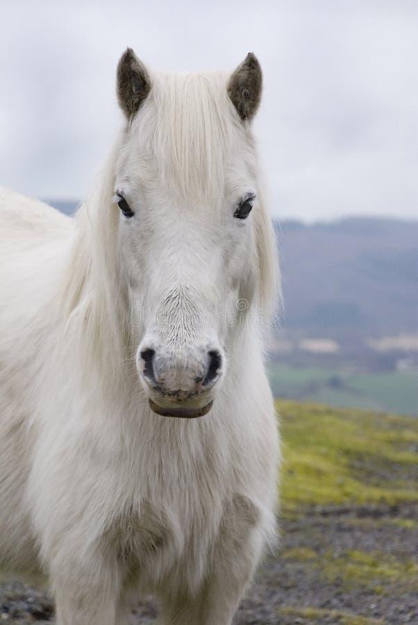 3 ponny welsh royaltyfri foto