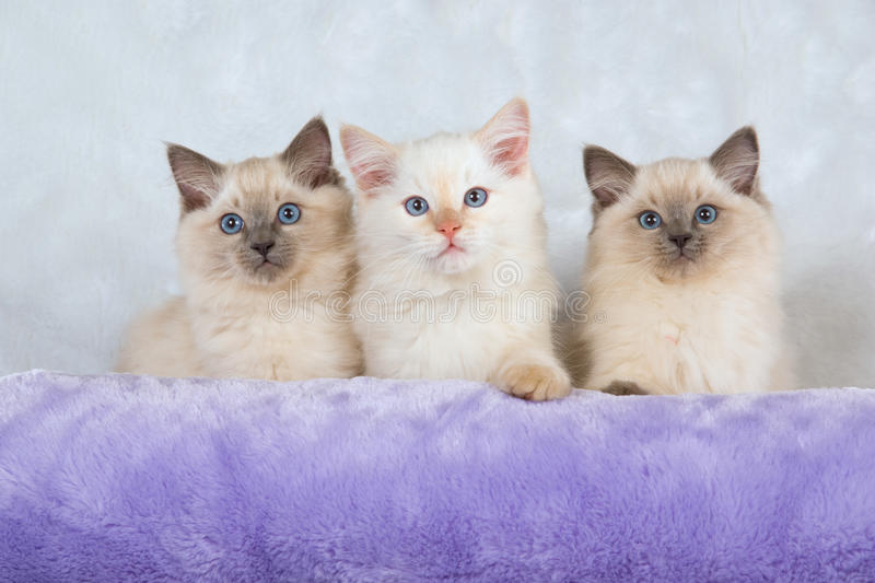 3 Ragdoll kittens sitting on white fake fur. With lilac pillow in foreground stock images