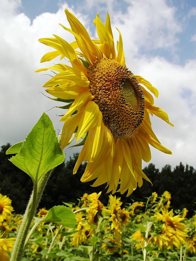 3 Słonecznik Zdjęcia Stock