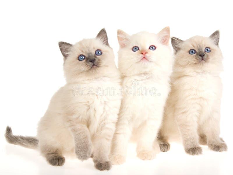 3 tła figlarek ragdoll obsiadania biel fotografia stock