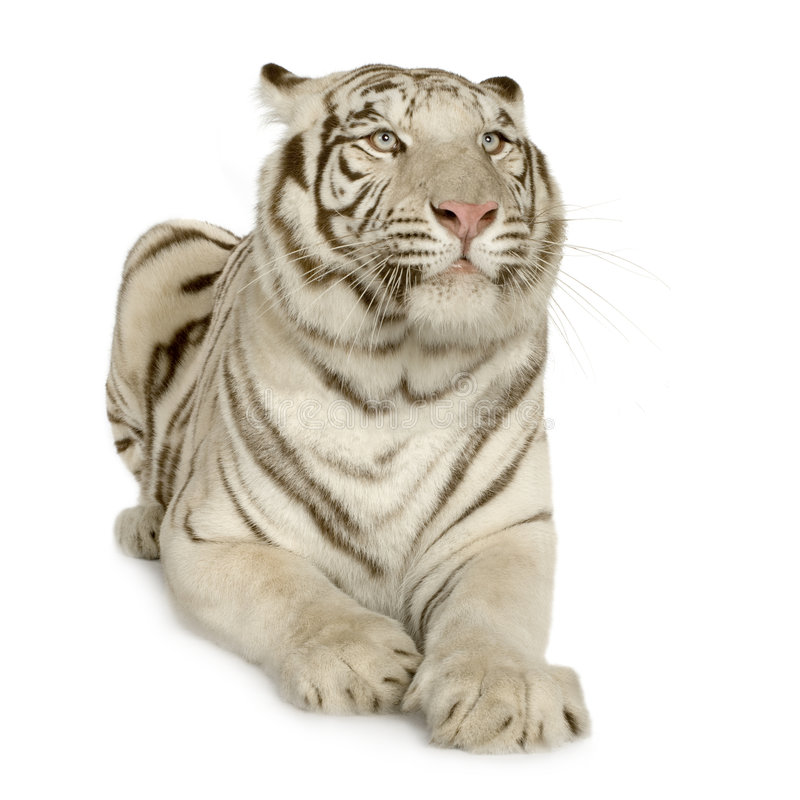 3 tigerwhiteår royaltyfri foto
