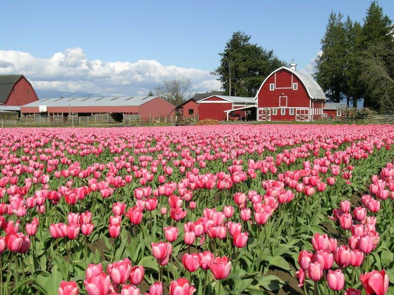 3 Tulipany Barn Zdjęcia Stock