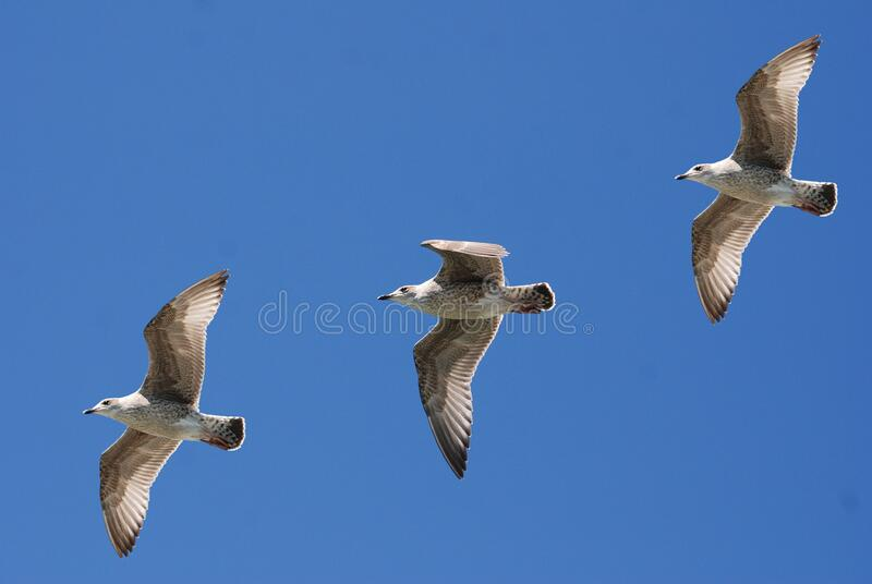 3 White Birds Flying Under Blue Sky Free Public Domain Cc0 Image