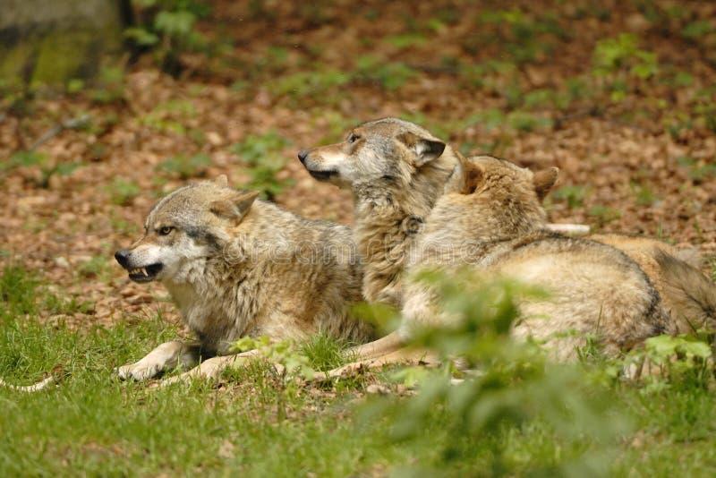 3 wolves royaltyfri fotografi