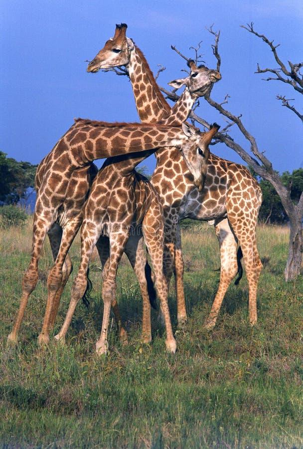 3 Young Male Giraffe Necking royalty free stock photos