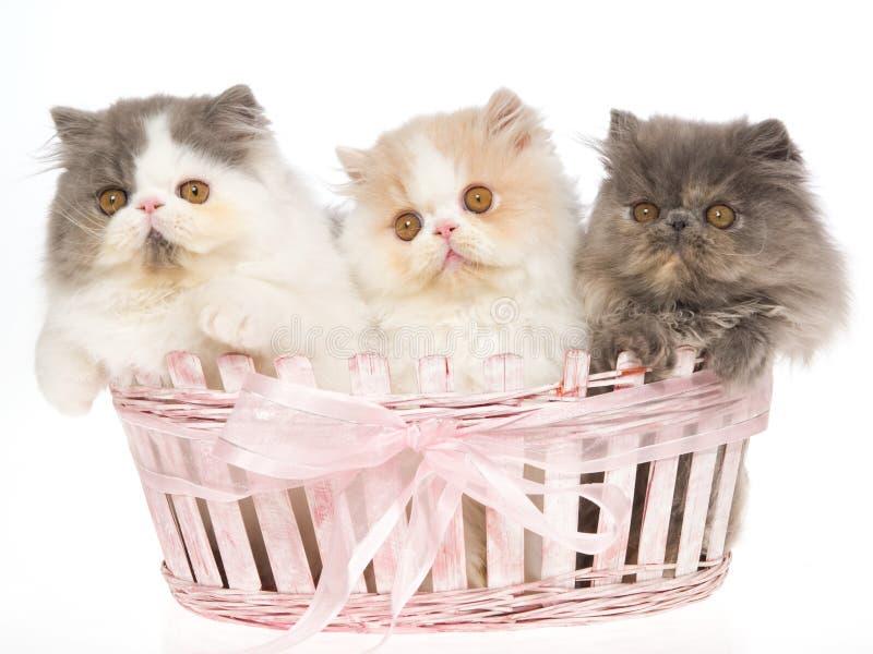 3 zeer leuke Perzische katjes in roze mand stock afbeeldingen