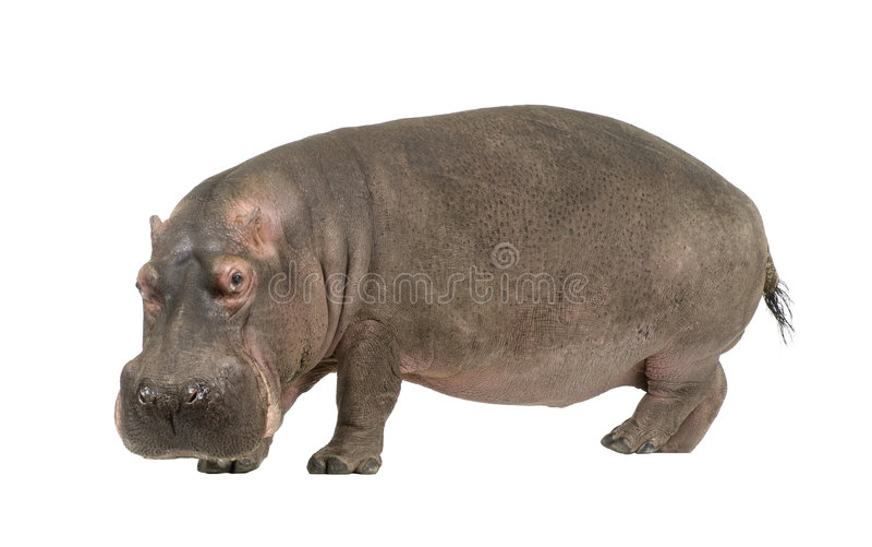 30 amphibius hipopotama rok obraz stock