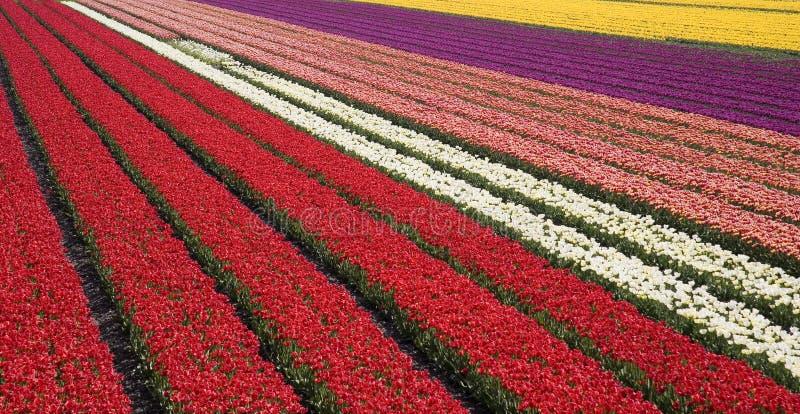 31 tulipan pola zdjęcie stock