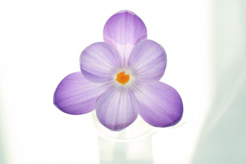 纯番红花的花 库存图片