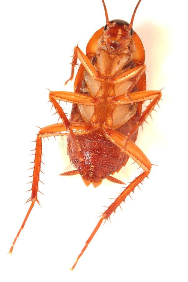 背景死臭虫蟑螂白色 免版税图库摄影