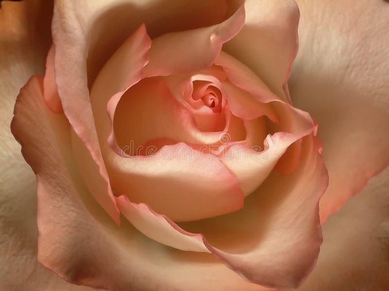脸红玫瑰色 免版税库存图片