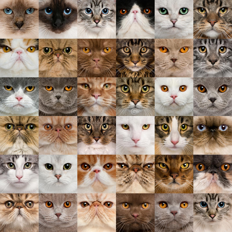 36 cat heads stock photography