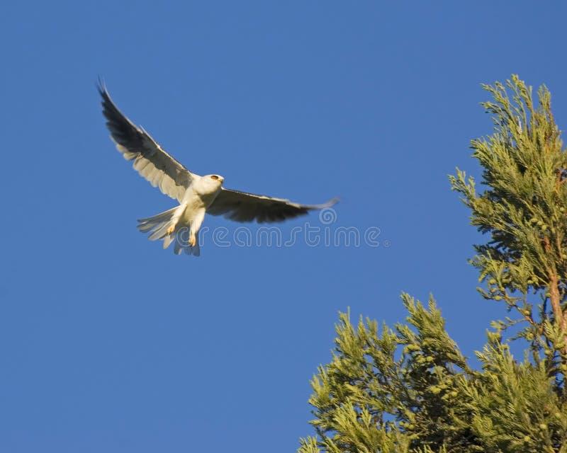 36130 drake tailed white arkivbilder