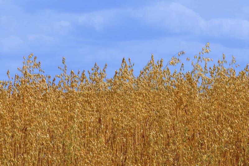 金黄燕麦 库存图片