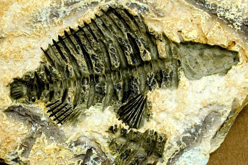 钓鱼化石 免版税库存图片