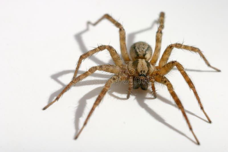 长毛的蜘蛛 库存图片