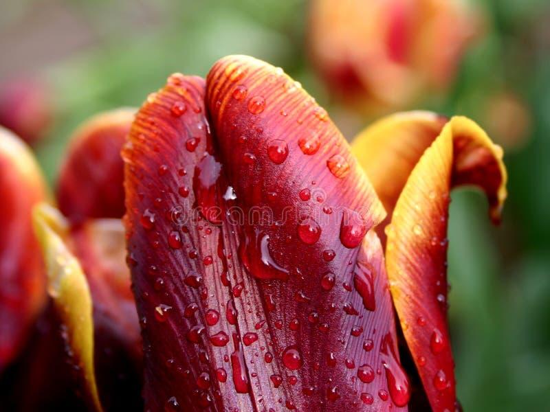雨红色郁金香黄色 库存照片