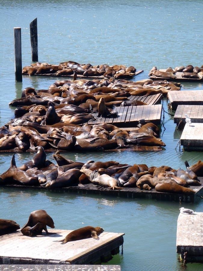 39头弗朗西斯科狮子临近码头其它圣海 免版税库存图片