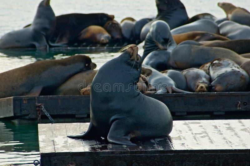 39 mola San Francisco fok zdjęcie royalty free