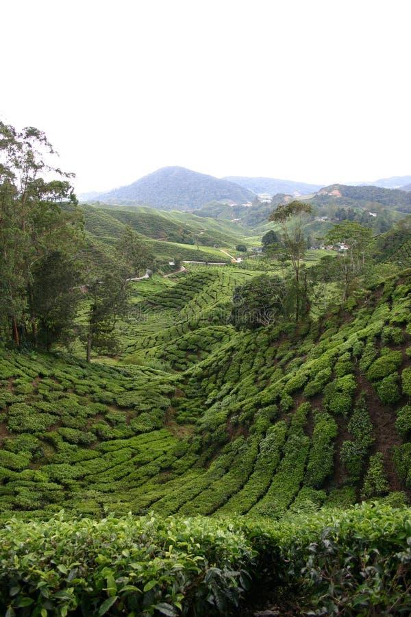 马来西亚种植园茶 免版税库存图片