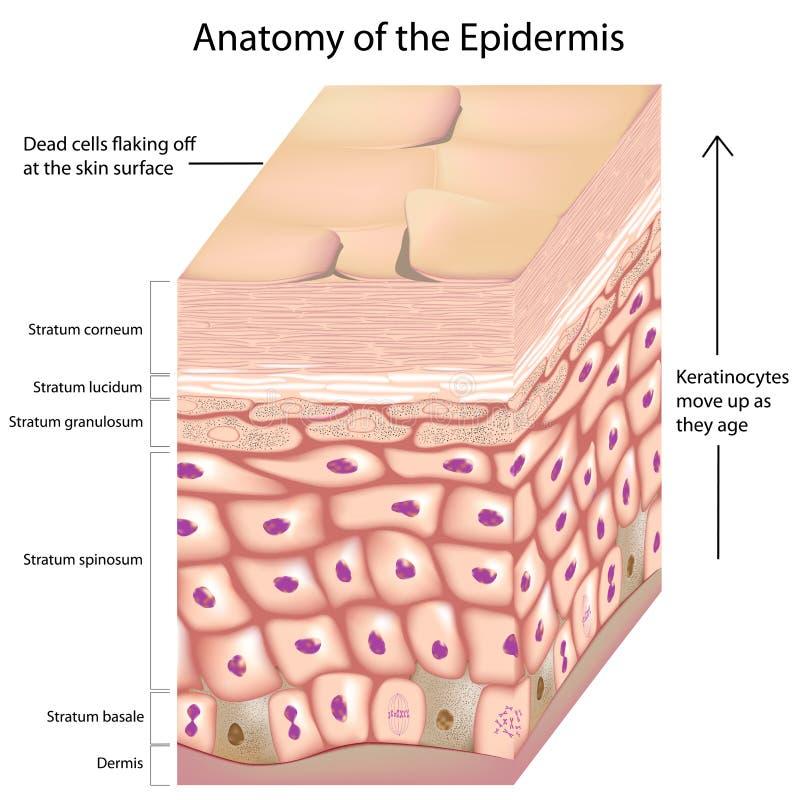 3d anatomie van de epidermis vector illustratie