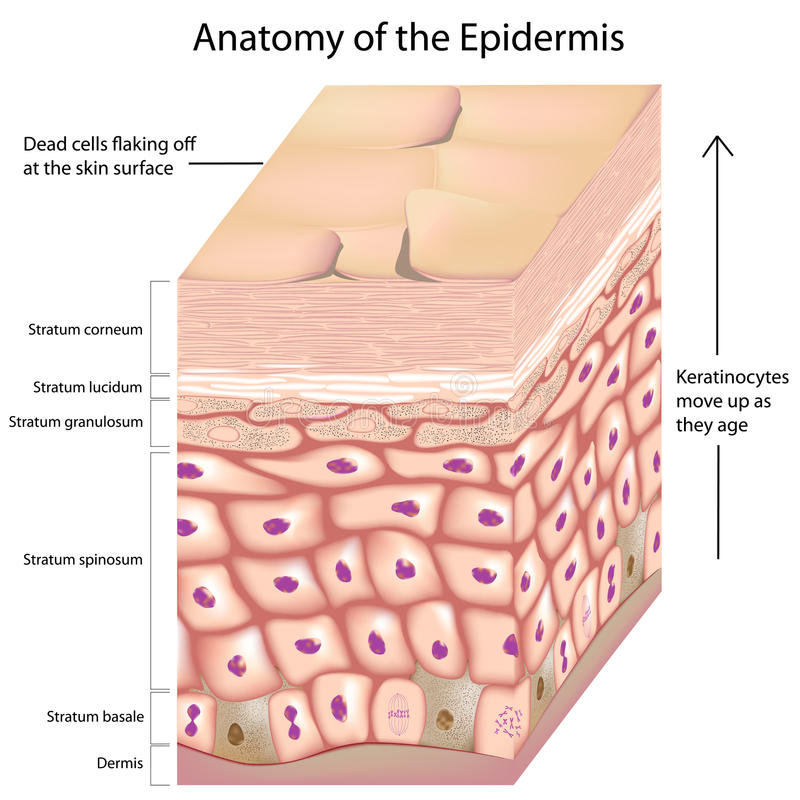 Free 3d Anatomy Of The Epidermis Stock Image - 28721111