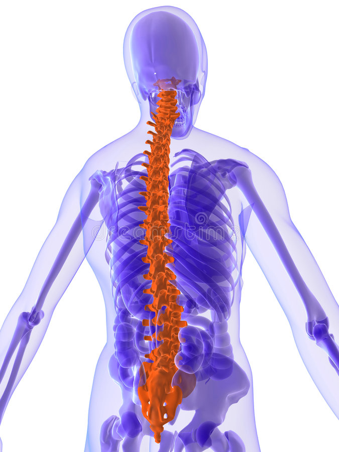 3d anatomy - spine. 3d rendered illustration of a human anatomy with highlighted spine stock illustration
