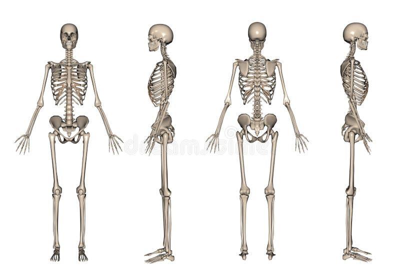 3d framför skelett stock illustrationer