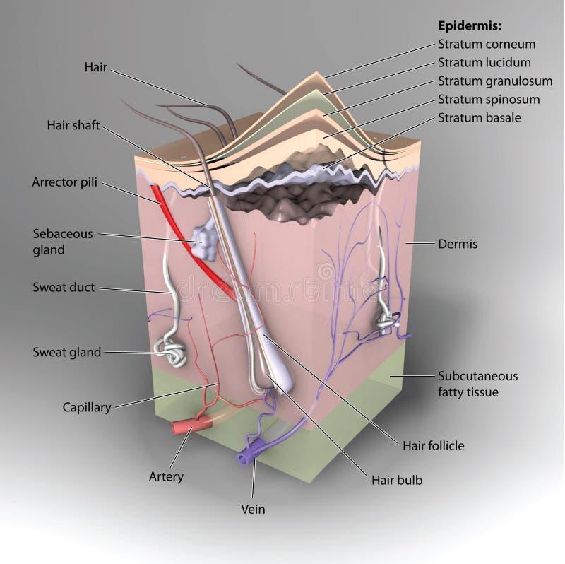 3D Huid stock illustratie