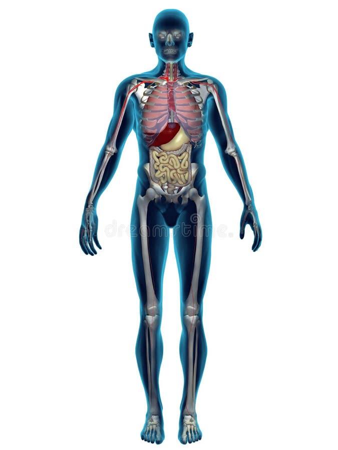 3d istota ludzka organy royalty ilustracja