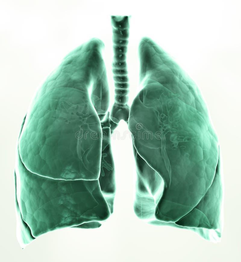 3D medische illustratielongen stock illustratie