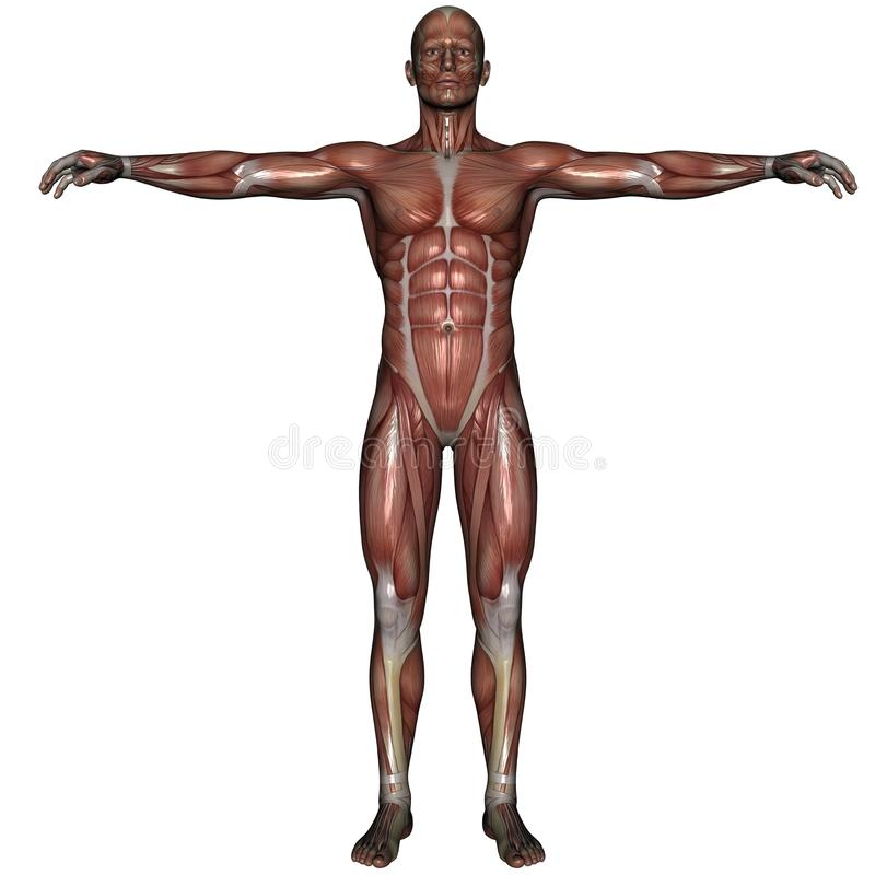 Download 3D muscle of man stock illustration. Image of closeup - 13023973