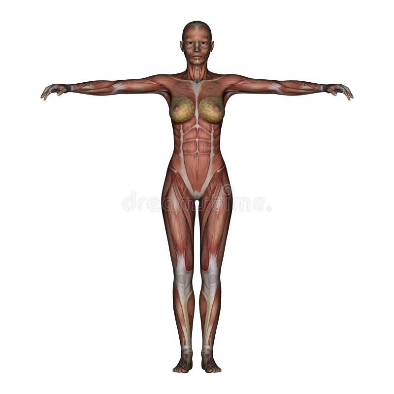 3d Render Depicting Human Anatomy Stock Illustration Illustration
