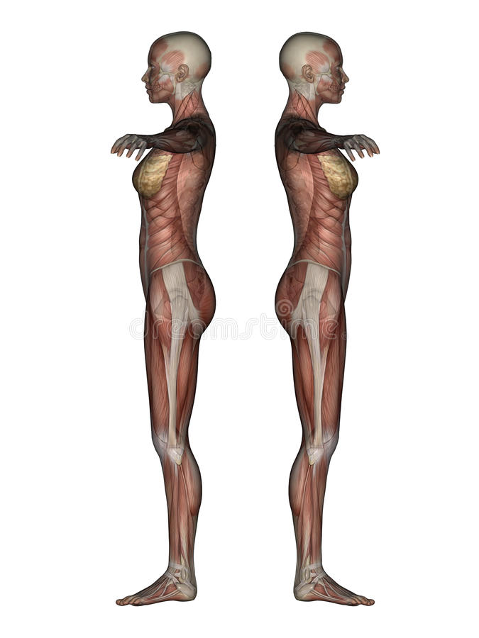 3d render of a female skeleton and muscles royalty free stock, Skeleton