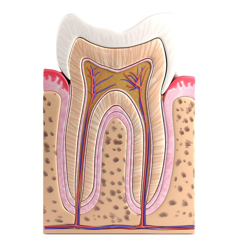 3d render of tooth anatomy. Realistic 3d render of tooth anatomy royalty free illustration