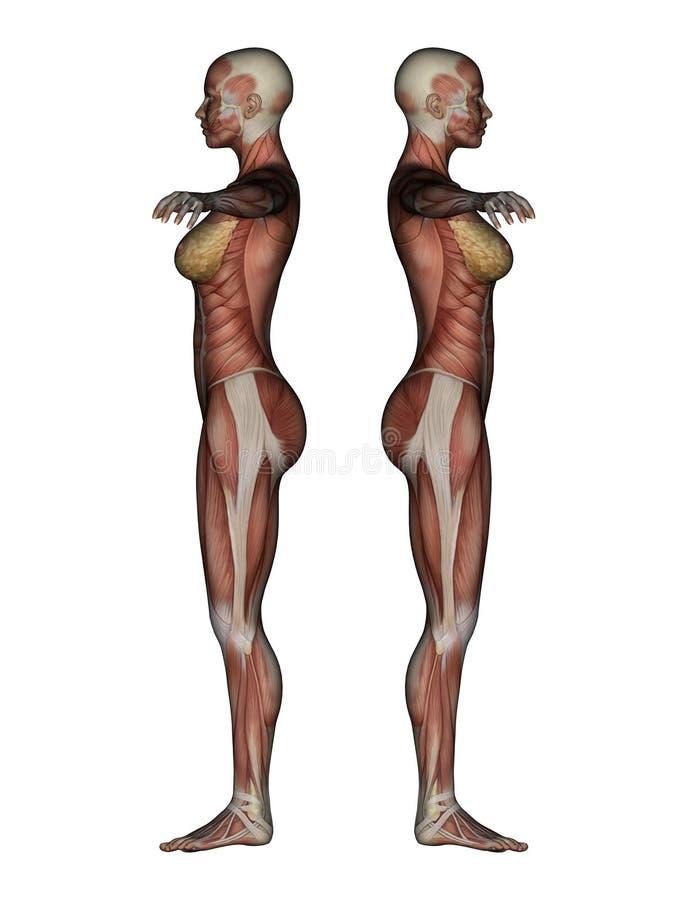 Moderno Anatomía Y Fisiología Cliffsnotes Componente - Imágenes de ...