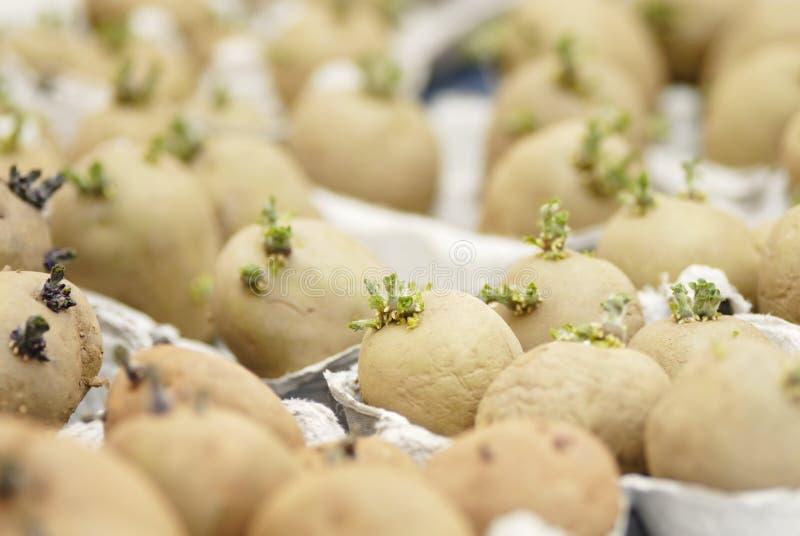 3Six potatoes chitting. royalty free stock photo
