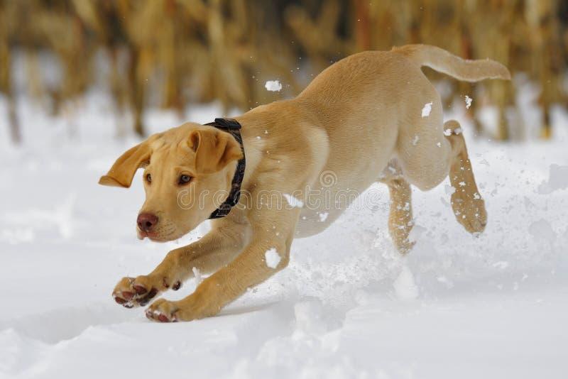 4个实验室小狗 库存图片