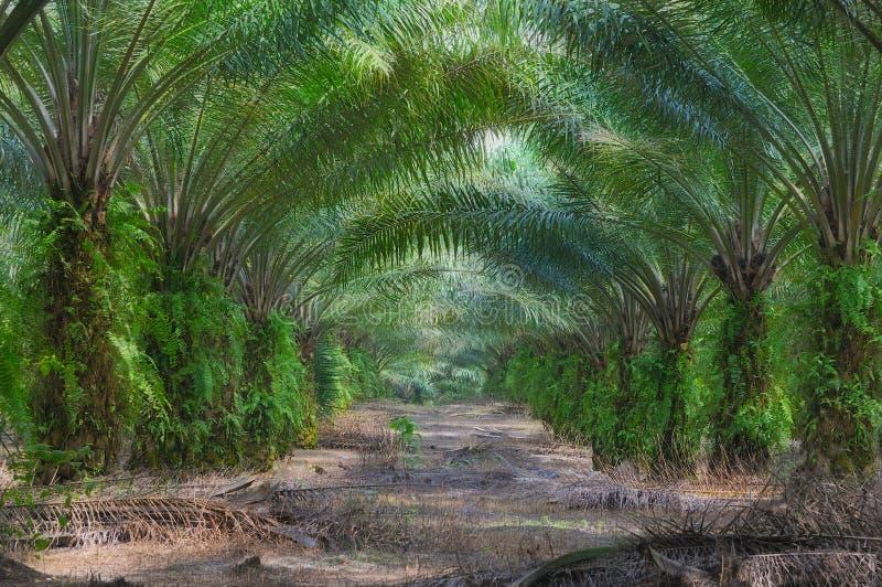 4个庄园油棕榈树系列 免版税库存照片