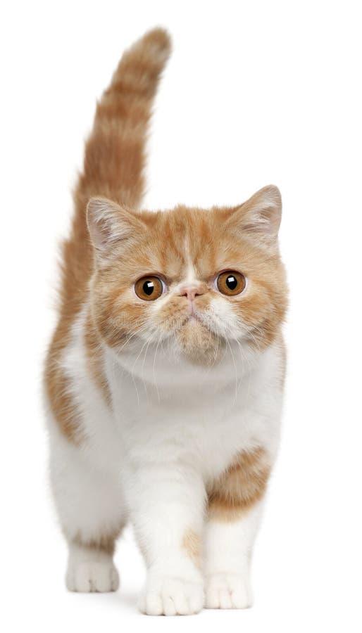 4个异乎寻常的小猫月shorthair身分 免版税库存图片