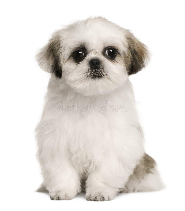 4个月小狗shih坐的tzu 库存照片