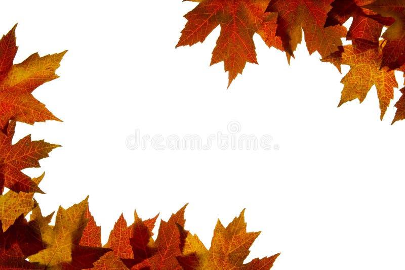 4个由后面照的颜色下跌混合的叶子槭& 库存照片