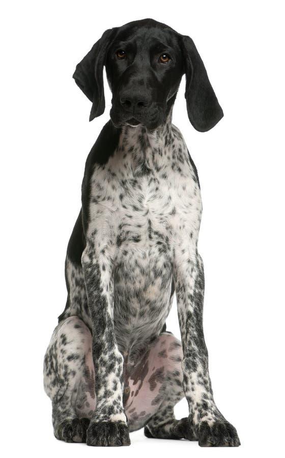 4个短发德国月指针的小狗 免版税库存图片