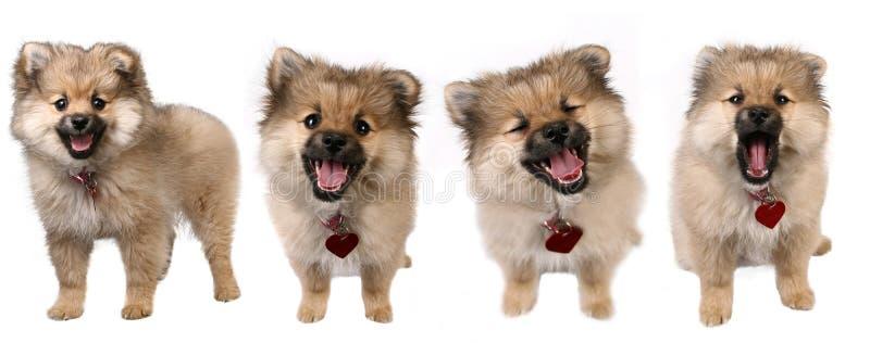 4个逗人喜爱的pomeranian姿势小狗 免版税库存图片